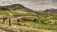 Horses near the farm Tunga in Hörðudalur in Skógarströnd, Snæfellsnes Western Iceland photo by karl magnusson